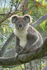 koala 012