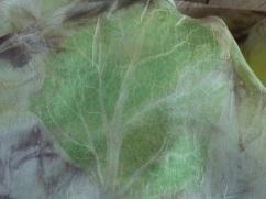 clary sage leaf